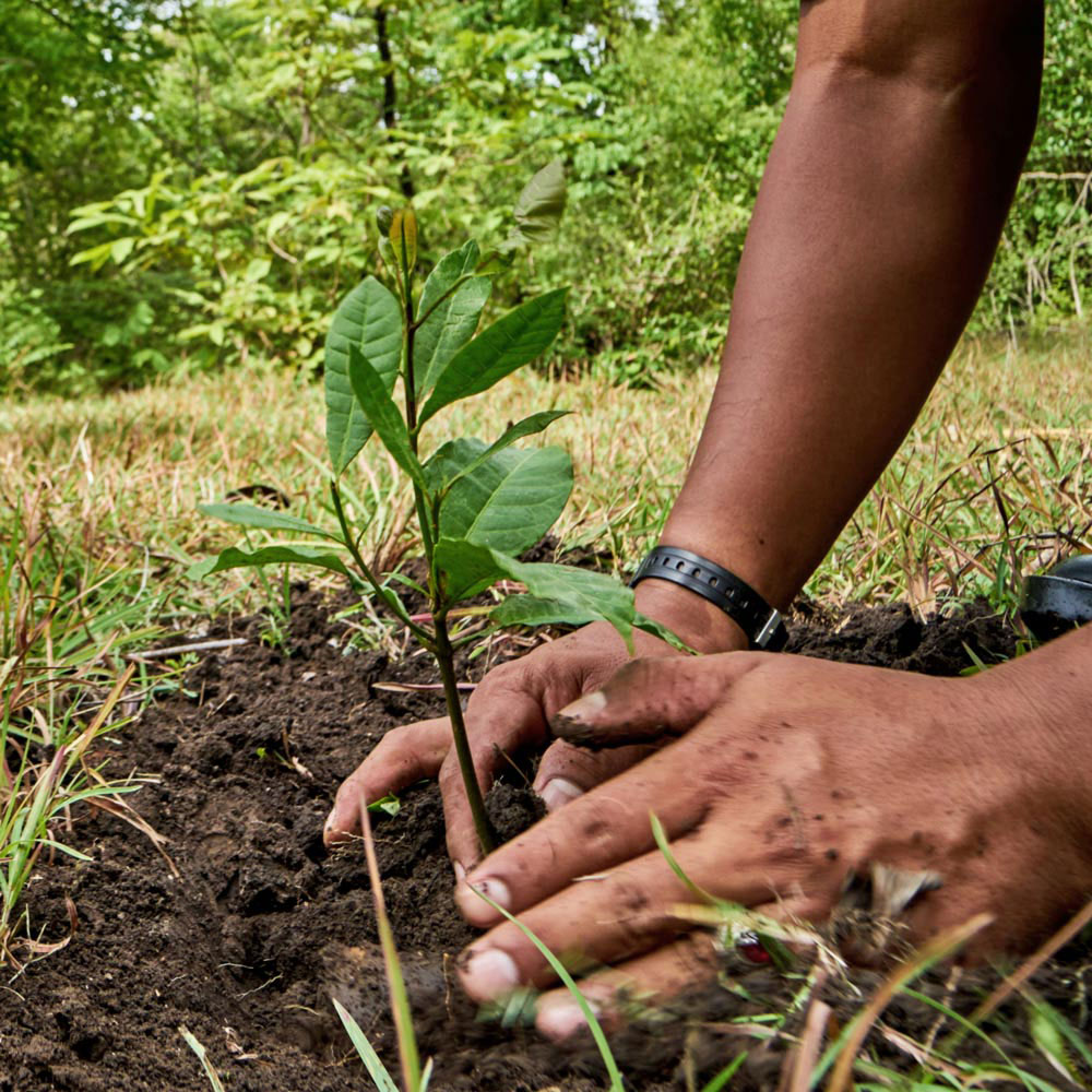 Planting tree with ashes